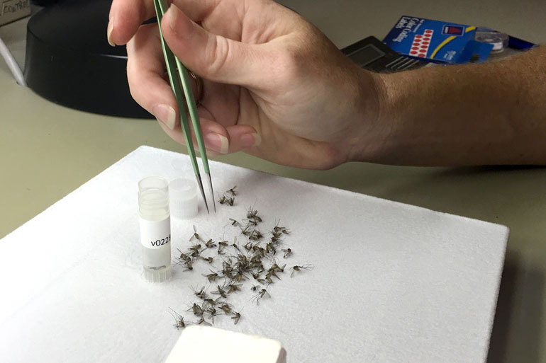 Christy Roberts, an entomologist in Harris County, Texas, sorts mosquitoes with tweezers.