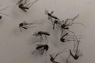 Aedes aegypti mosquitoes, one of the species that can spread Zika, lay in a petri dish at the Broward County Mosquito Control. (Phil Galewitz/KHN)