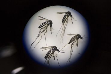 Adult female mosquitos are seen under a microscope at the Sun Yat-Sen University-Michigan University Joint Center of Vector Control for Tropical Disease in Guangzhou, China.(Photo by Kevin Frayer/Getty Images)
