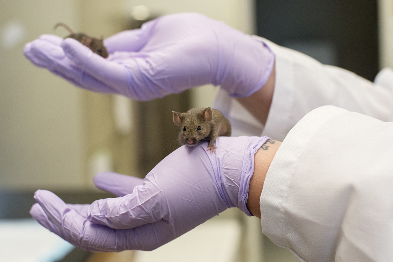 A 'Fountain Of Youth' Pill? Sure, If You're A Mouse